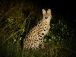 Jeune serval, parc national Nyika (Malawi) © Allen