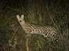 Serval, Linyanti (Botswana) © Allen