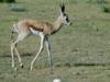 jeune-springbok-etosha-namibie-photo-a-m-allemand