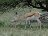premier-marche-de-bebe-springbok-etosha-namibie-photo-a-m-allemand