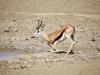 springbok-male-boire-etosha-namibie-photo-g-et-a-frejaville