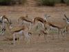 springbok-mamans-et-leurs-petits-kahalari-transfrontier-park-af-du-sud-photo-a-et-m-allemand
