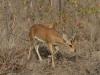 steenbok male parc kruger afrique du sud