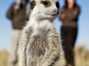 Suricate dans le Kalahari près du camp Jack, parc national Makgadikgadi Pans (Botswana)