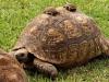 jeune-tortue1