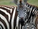 Zèbre à Nakuru (Kenya)
