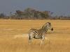 Un zèbre dans la plaine, parc national Hwange (Zimbabwe) © ae