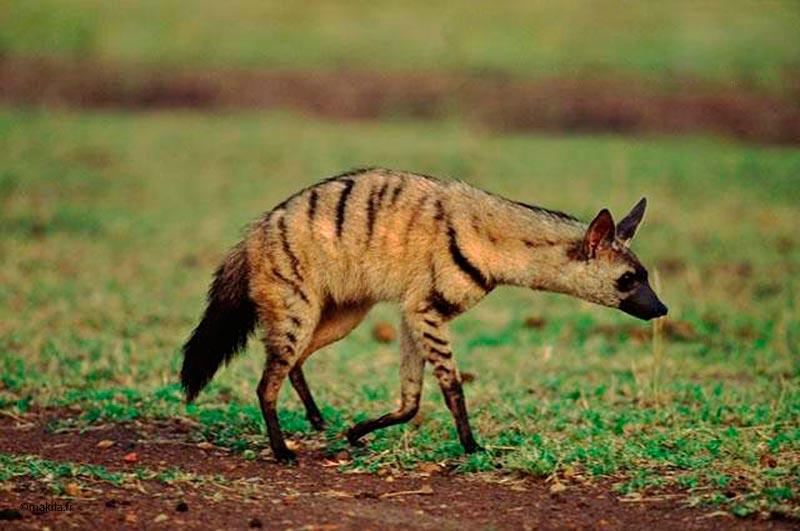 Gut bekannt Animaux noctures afrique, Guide des animaux de Safari en Afrique  BC62