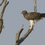 Aigle martial Delta Okavango Botswana