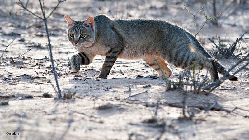 chat-sauvage-en-chasse