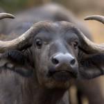 Buffle d'Afrique