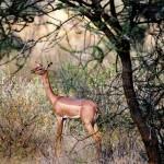 Gazelle de Waller, parc de Samburu, Kenya