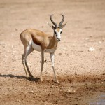 springbok kalahari