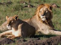 Couple de lions, Kenya