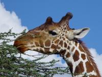 Giraffe réticulée à Samburu, Kenya