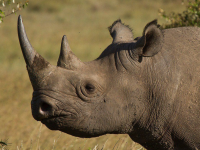 Rhinocéros blanc, Kenya