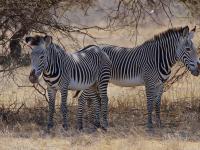 Zèbres de Grevy, Samburu, Kenya