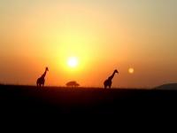 Sunset safari, Masai Mara, Kenya