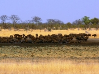 photo troupeau de buffles - Camp Hwange - Zimbabwe