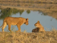 Lions • Camp Hwange • Parc National Hwange
