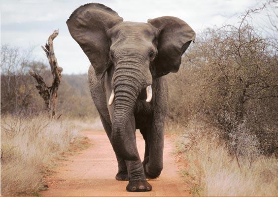attaque d éléphants