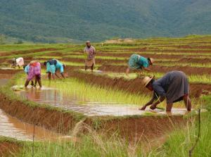 Récolte de riz sur la route vers Fianarantsoa, Madagascar
