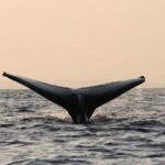 Baleine Nuarro