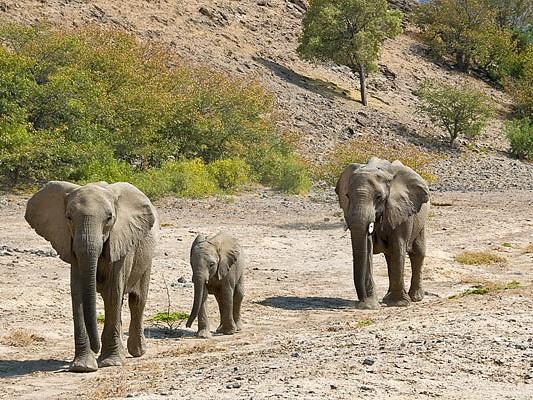elephant desert hoanib namibie