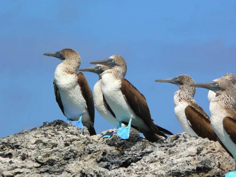 fous bleus galapagos
