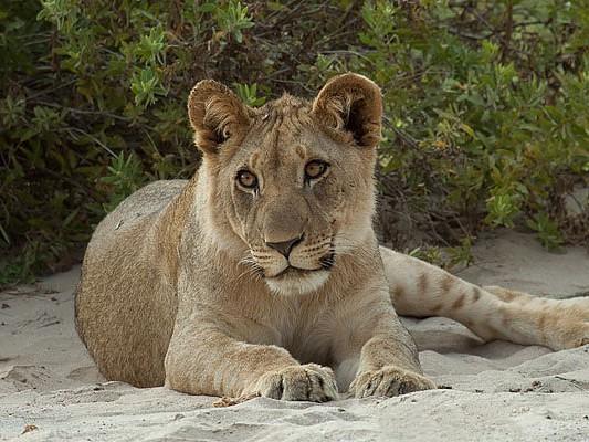 lion namibie hoanib