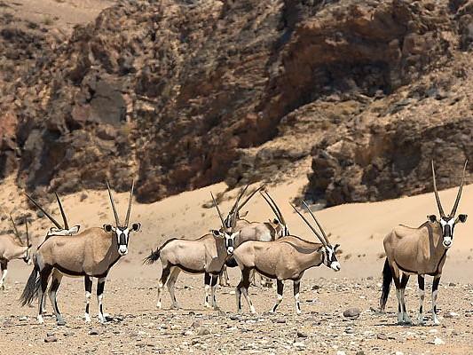 oryx desert hoanib namibie