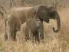Éléphant femelle avec son éléphanteau, réserve Selous Game (Tanzanie) © ae