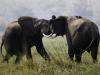 Deux éléphants mâles se battant près du fleuve Shire et du Mqvuu Wilderness Lodge, parc national Liwonde (Malawi) © da
