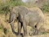 Éléphant mâle après un bain de boue rafraîchissant, parc national Kruger (Afrique du Sud) © ae