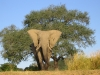 Éléphant d'Afrique mâle, fleuve Zambezi (Zimbabwe)