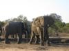 Éléphants mâles au bord d\'un point d\'eau près de Tintswalo, parc national Kruger (Afrique du Sud) © ae