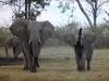 Famille d\'éléphants dans le delta de l\'Okavango (Botswana) © ae