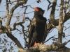 batleur eagle batleur eagle ad hwange national park zimbabwe