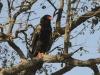 batleur eagle batleur eagle hwange national park zimbabwe