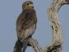 batleur eagle dsc7393