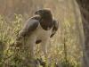 aigle-martial-59-Photo-A-et-M-Allemand