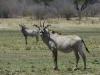 Antilope chevaline femelle, parc national Hwange (Zimbabwe) © Dana Allen