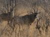Antilope chevaline mâle, parc national Hwange (Zimbabwe) © A. et M. Allemand