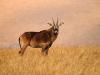 Jeune antilope chevaline femelle dans les montagnes du Malawi, parc national Nyika © Dana Allen