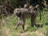 Babouin femelle portant son petit sur le dos, parc national Kruger (Afrique du Sud) © A. et M. Allemand