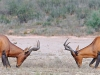 red-hartebeest-debut-combat-males