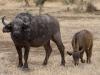 Buffle femelle et son petit, parc Kruger (Afrique du Sud) © A. et M. Allemand