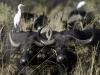 Buffles femelles entourées de pique-bœufs à bec jaune et de hérons garde-bœufs, delta de l\'Okavango (Botswana) © D. Allen