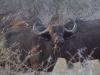 Buffle femelle, delta de l\'Okavango (Botswana) © ae