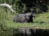 Vieux buffle mâle solitaire qui se rafraîchit dans la rivière, entouré de pique-bœufs à bec jaune, delta de l\'Okavango (Botswana) © D. Allen